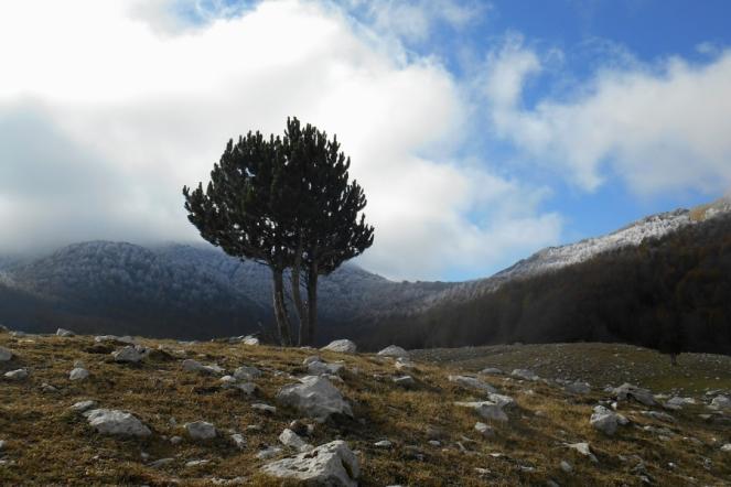 Bosnian Pine, Piano di Pollino