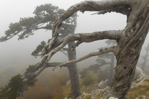 Bosnian Pines
