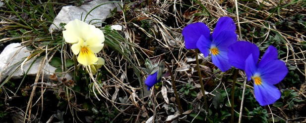 Viola calcarata (Mountain violet)
