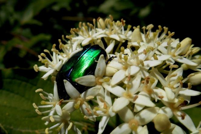 Green rose chafer (Cetonia aurata)