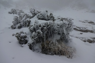 Icicles on a bosnian pine