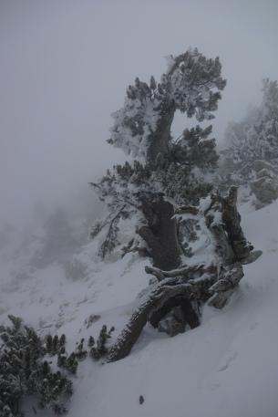 Bosnian pine